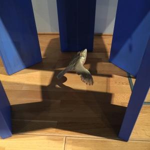 duva-under-altare